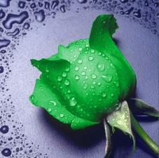 Алмазная мозаика | Зелёная роза. Размер - 25 х 25 см