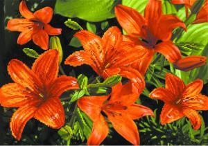 Оранжевые лилии. Размер - 49 х 37 см.