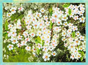 Цветущая вишня. Размер - 49 х 37 см.