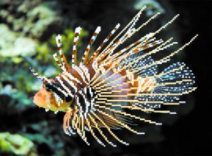 Морской петух. Размер - 34 х 28 см.