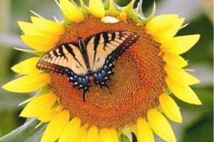 Бабочка на подсолнухе. Размер - 60 х 40 см.