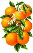 Гроздь апельсинов. Размер - 31 х 48 см.